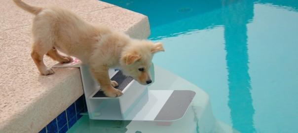 כלב על שפת הבריכה